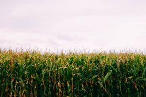 חתונה בשדה תירסים